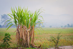 Sugarcane plantation in the background of countryside with copys Stock Photos