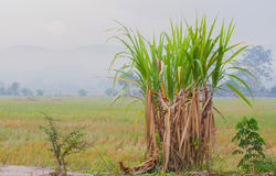 Sugarcane plantation in the background of countryside with copys Royalty Free Stock Photography