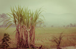 Sugarcane plantation in the background of countryside with copys Royalty Free Stock Photo