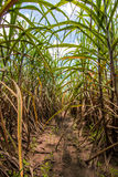 Sugarcane plantation. With blue sky stock photo