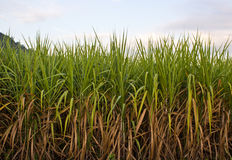Sugarcane plantation. And mountain background on early morning royalty free stock photos