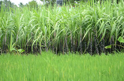 SUGARCANE PLANTATION AND PADDY FIELD Stock Images
