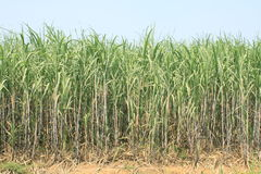 Sugarcane plantation Royalty Free Stock Image