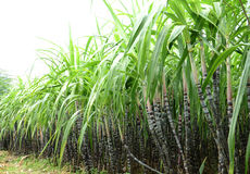 SUGARCANE PLANTATION. Sugar Cane Plantation in South-india for production of Sugar or Etanol or Alcohol Royalty Free Stock Photos