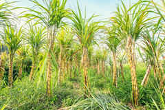Sugarcane in plantation in Thailand Royalty Free Stock Photography