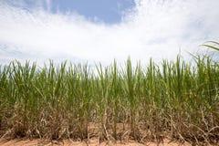 Sugarcane plantation Royalty Free Stock Photography