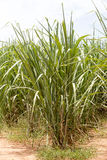 Sugarcane plantation Stock Image