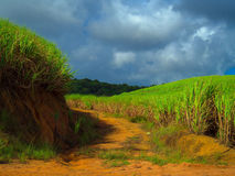 Sugarcane Plantation Royalty Free Stock Photos