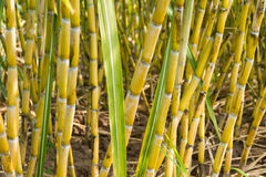 Sugarcane plants Stock Photos