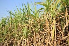 Sugarcane plants grow Stock Image
