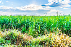 Sugarcane plants grow in field Royalty Free Stock Image