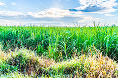 Sugarcane plants grow in field Royalty Free Stock Images