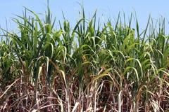 Sugar cane plants grow in field, Plantation Sugar cane tree farm, Background of sugarcane field. The Sugar cane plants grow in field, Plantation Sugar cane tree stock photography