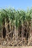 Sugar cane plants grow in field, Plantation Sugar cane tree farm, Background of sugarcane field. The Sugar cane plants grow in field, Plantation Sugar cane tree stock image
