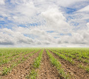 Sugarcane plants grow in field and sky Stock Photo