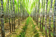 Sugarcane plants Royalty Free Stock Photography