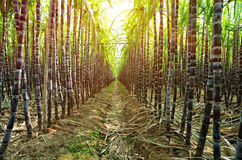 Sugarcane plants Royalty Free Stock Photo