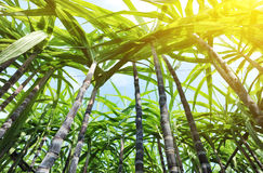 Sugarcane plants Stock Image