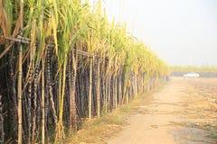 Sugarcane plants Stock Photo