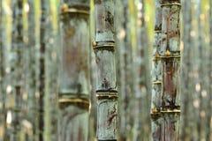 Sugarcane plants Royalty Free Stock Image