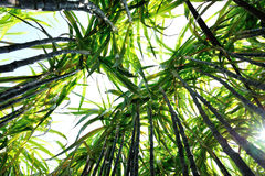 Sugarcane plants Royalty Free Stock Images