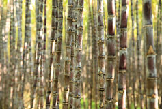 Sugarcane plants in growth at field Royalty Free Stock Photos
