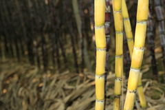 Sugarcane plants in growth at field Stock Photo