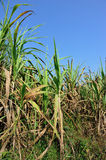 Sugarcane plants in growth at field Stock Photos