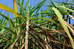 Sugarcane plants in growth at field Stock Photography