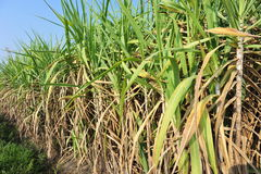 Sugarcane plants in growth at field Royalty Free Stock Photography