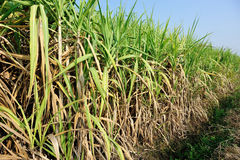 Sugarcane plants in growth at field Royalty Free Stock Photo