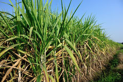 Sugarcane plants in growth at field Stock Image