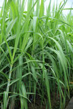 Sugarcane plants in growth at field Royalty Free Stock Images