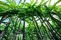 Sugarcane plants Stock Images