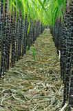 Sugarcane plants in row Stock Images