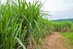 Sugarcane and road to the plant. Royalty Free Stock Photos