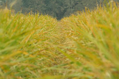 Sugarcane rows. Rows of sugarcane, Four Corners, Louisiana Stock Photography