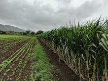 Sugarcane series royalty free stock photo