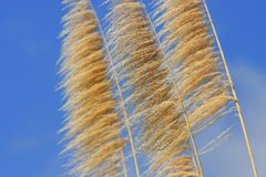 Sugarcane in the sky. Sugarcanes on a background of the blue sky Stock Image
