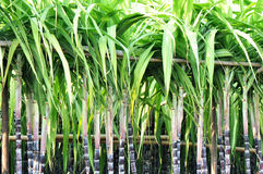 Sugarcane stalks steady with bamboo pole Royalty Free Stock Images