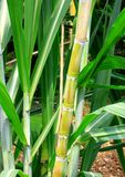 Sugarcane stems and leaves. Royalty Free Stock Images