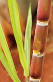 Sugarcane or sugar cane closeup showing juicy ripe stem. Rich in sucrose and ready for industrial extraction of sugar, jaggery, molasses and bio-fuel called Stock Image