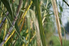 Sugarcane. Or sugar cane, are several species of tall perennial true grasses of the genus Saccharum, tribe Andropogoneae, native to the warm temperate to royalty free stock image