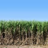 Sugar cane, Sugarcane plants grow in field, Plantation Sugar cane tree farm, Background of sugarcane field. The Sugar cane, Sugarcane plants grow in field stock images