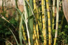 Sugarcane. Or sugar cane, are several species of tall perennial true grasses of the genus Saccharum, tribe Andropogoneae, native to the warm temperate to stock photography