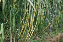 Sugarcane. Or sugar cane, are several species of tall perennial true grasses of the genus Saccharum, tribe Andropogoneae, native to the warm temperate to stock photos