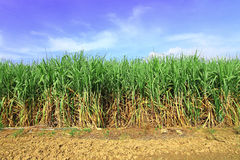 Sugarcane in Thailand Royalty Free Stock Image