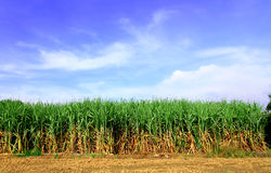 Sugarcane in Thailand Royalty Free Stock Photos