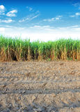 Sugarcane in Thailand Stock Photography