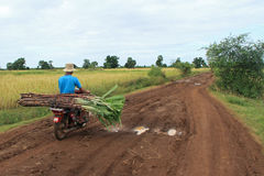 Sugarcane Trader Stock Photo